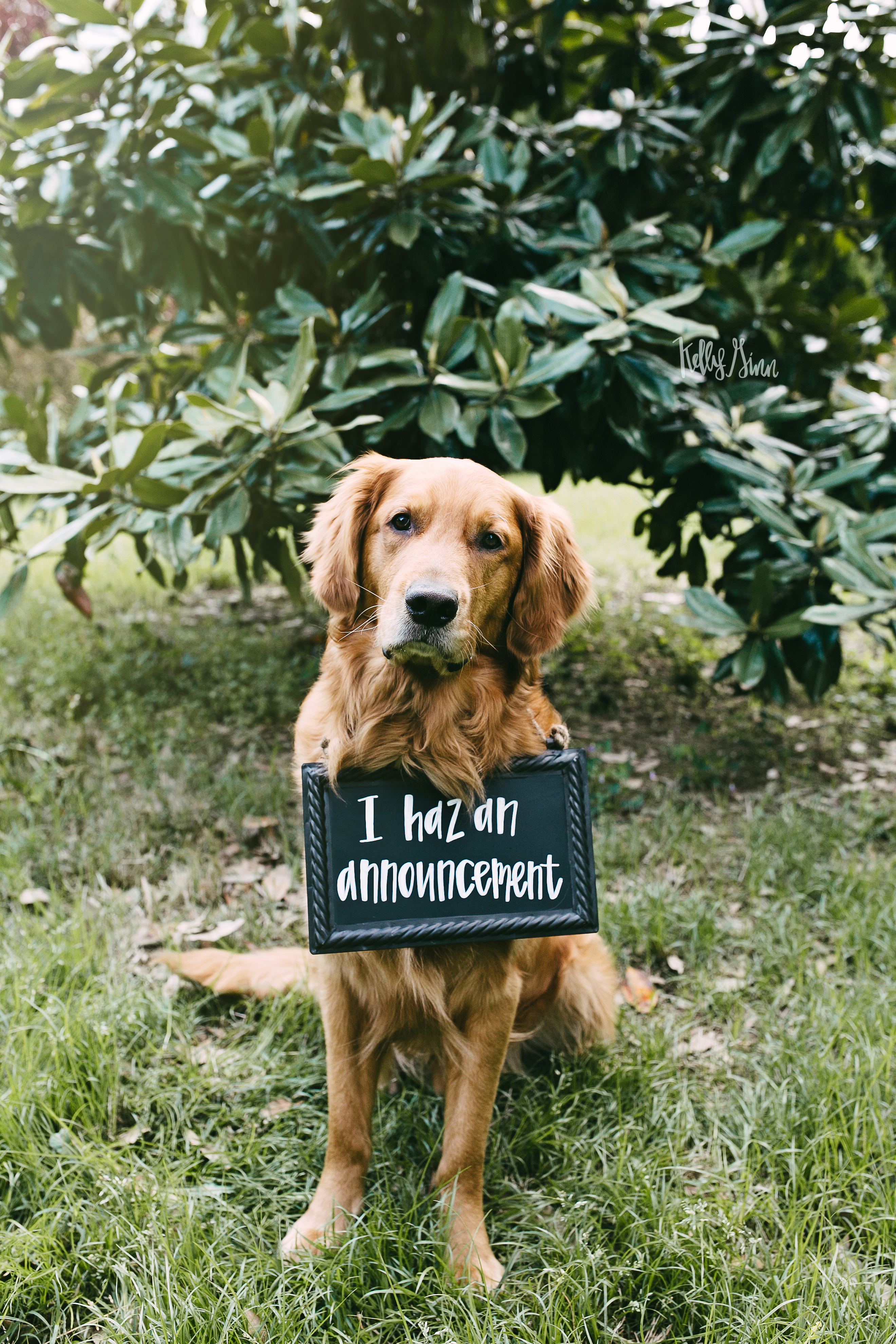 golden-retriever-announcement